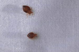 bed bugs at home