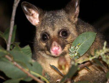 effective possum repellent